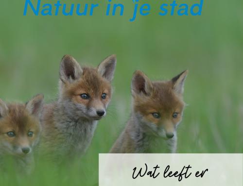 Wat leeft er in Haarlem: vossen