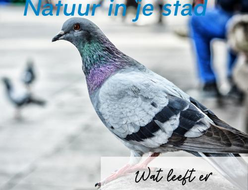 Wat leeft er in Haarlem: duiven