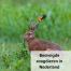 Het gaat niet goed met de zoogdieren in Nederland.